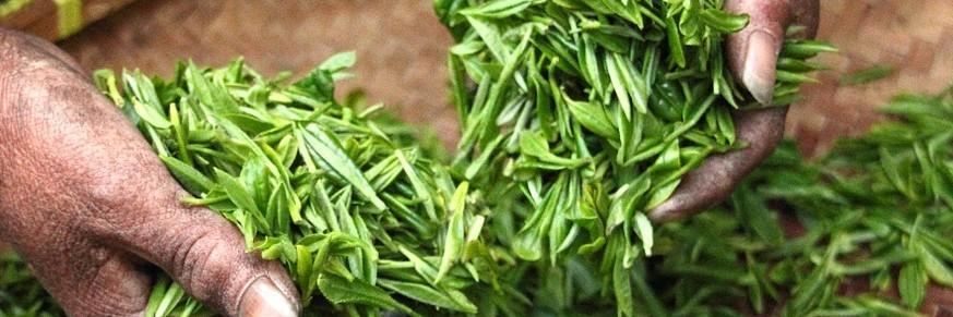 Thés verts rares / d'exception