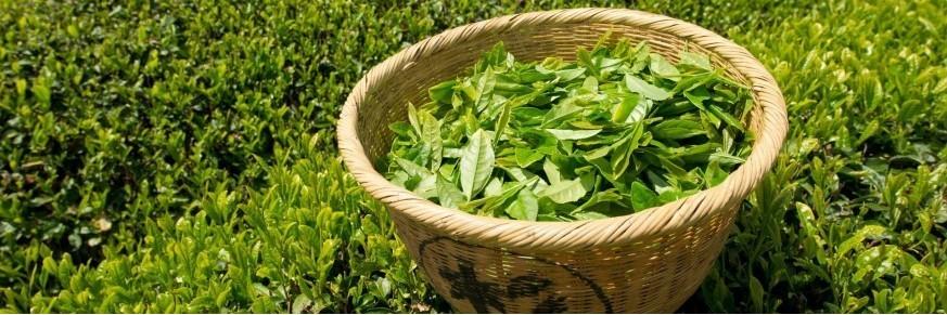 Thés verts chinois