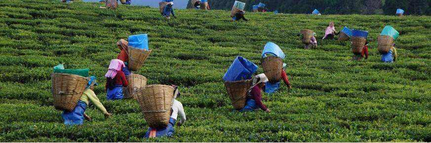 Thé d'Assam