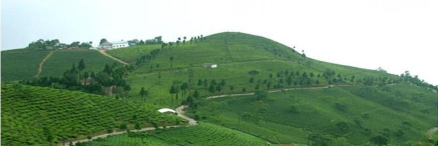 Thé du Darjeeling